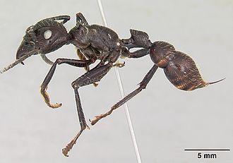 Paraponera - P. clavata, or bullet ant, the sole extant member of the subfamily Paraponerinae