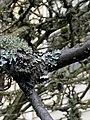 Parmelia sulcata 107504017.jpg