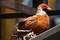 Partridge profile (24215769607).jpg