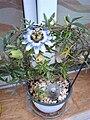 Passiflora caerulea (11).jpg