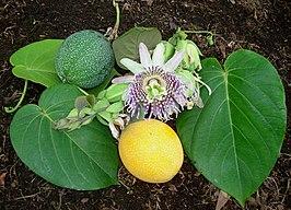 Passiflora ligularis wikipedia for Frutas ornamentales