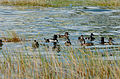 Pato Pico Anillado, Ring Necked Duck, Aythya collaris (23386494144).jpg