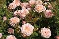 Peach Clementine (Tantau 2002).JPG