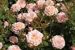 Peach Clementine (Tantau 2002)