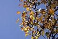 Pear tree leaves in October - panoramio.jpg