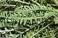 Pedicularis contorta 7358.JPG