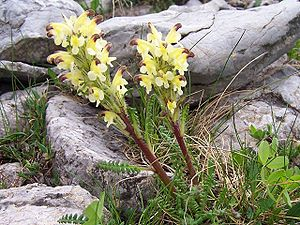 Pedicularis oederi a2.jpg