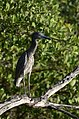 Pedrete Corona Clara, Yellow Crowned Night Heron, Nyctanassa violacea (15599553883).jpg