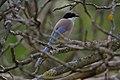 Pega azul ou Charneco ( Cyanopica Cooki ) (49870213008).jpg