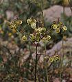 Peltaria angustifolia 1.jpg