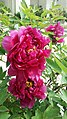 Peony material 2nd in Peony Educational Series.jpg