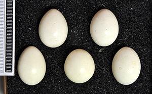 Jungle bush quail - Eggs, Collection Museum Wiesbaden