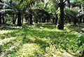 Perkebunan kelapa sawit milik rakyat (40).JPG