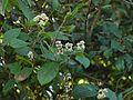 Persicaria chinensis var. ovalifolia (6368757785).jpg