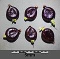 Persicaria lapathifolia subsp. brittingeri sl17.jpg