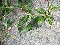 Persicaria maculosa sl6.jpg