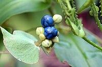 Persicaria perfoliata 7