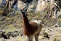 Peru - Lares Trek 035 - grazing llamas & alpacas (7586185642).jpg