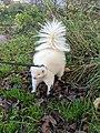 Pet Albino Skunk on a harness.jpg