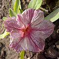 Petunia-9.jpg