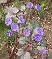 Phacelia campanularia 2003-05-12.jpg