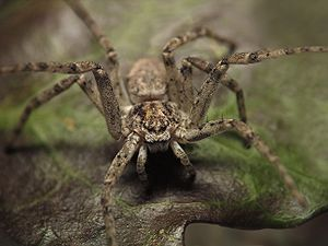 Philodromidae - Image: Philodromid crab spider frontal mze