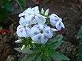 Phlox (which species - cultivar) ? (357188877).jpg