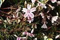 Phlox subulata Candy Stripes 0zz.jpg