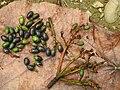 Phoebe cooperiana Fruit (2).jpg