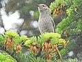 Phoenicurus ochruros (41733148184).jpg