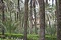 Phoenix dactylifera-(dattier)-Piazza Vittoria-jardin villa Romana.jpg