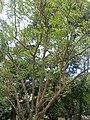 Phyllanthus acidus Habitation Clément.jpg