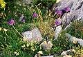 Phyteuma orbiculare Pyrenees.jpg