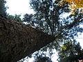 Picea abies (1111) 04.JPG