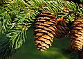 Picea rubens UGA.jpg