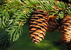 Mount Greylock - Red Spruce on Mount Greylock