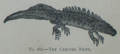 Picture Natural History - No 182 - The Crested Newt.png