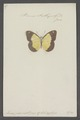 Pieris - Print - Iconographia Zoologica - Special Collections University of Amsterdam - UBAINV0274 051 08 0002.tif