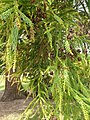 Pinales - Cryptomeria japonica - 5.jpg