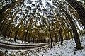 Pine forest. - panoramio.jpg