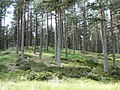 Pine forest - geograph.org.uk - 853405.jpg