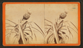 Pineapple, by Havens, O. Pierre, 1838-1912.png