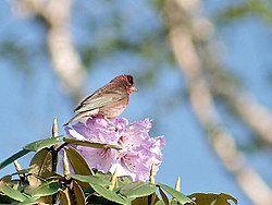 Pink browed Rosefinch (Male)- Himachal- IMG 3794.jpg