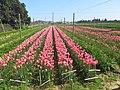 Pink tulips in La Londe-les-Maures.jpg