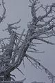 Pinus cembra hochfeld3719.JPG