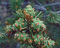 Pinus edulis cones.jpg