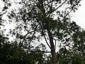 Pinus kesiya at Queen Sirikit Botanic Garden - Chiang Mai 2013 2696.jpg