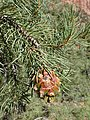 Pinus monophylla kz05.jpg