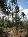 Pinus palustris Etoniah.jpg