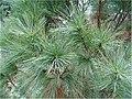 Pinus strobus 9zz.jpg
